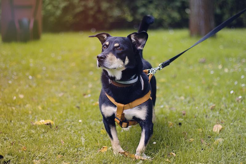 nauczyłam psa chodzić na smyczy